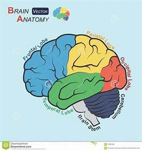 Brain Anatomy   Flat Design     Frontal Lobe   Temporal