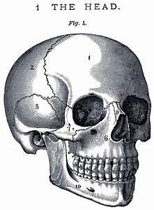 Vintage Anatomy Skull Image - The Graphics Fairy