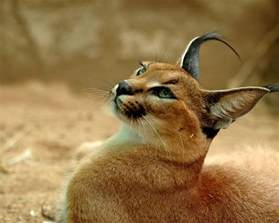 caracal cat also called the desert lynx medium sized caracals no