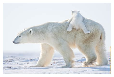 Polar Bear Babies Wallpaper