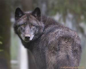 Black Timber wolf - Dogs & Animals Background Wallpapers ...