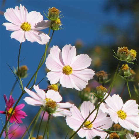 Beautiful Cosmosspring Flower Hd Wallpaper Flowers