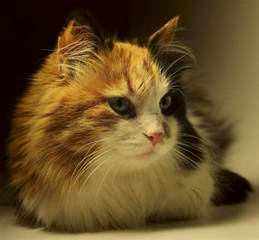calico cat names calico cat names 120 great ideas for naming your calico