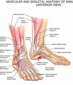 Foot Anatomy Redo Jpg 1 151 U00d71 343 Pixels