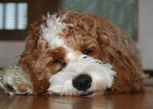 cocker spaniel poodle mix | Dogs I love! | Pinterest