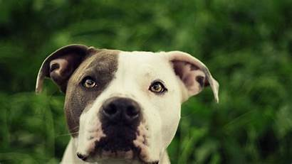 Bull Pit Wallpapers Pitbull Dog Animals 4k