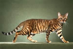 tiger cat orange tiger cat breed
