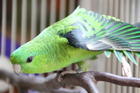 lineolated parakeet linnie genetics