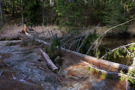 Nolūzusi egle pāri Rojas upei in 2020 | Structures