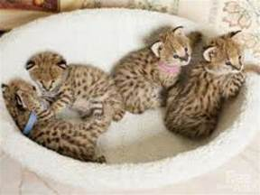 cats as pets serval cat pet ocelot serval margay kittens for