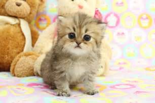 teacup cats for teacup kitten for about animals