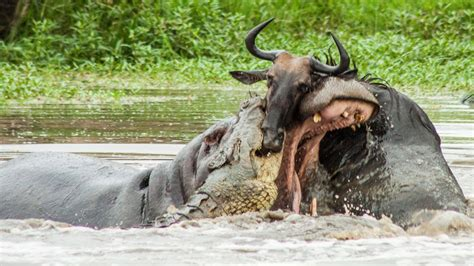 wildebeest tug  war  hippo  croc youtube