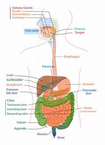 File Digestive System Diagram Edit Svg