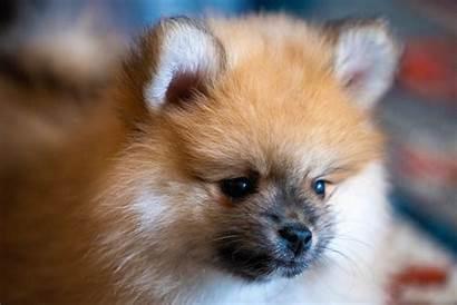Floof Pomeranian Dog Puppy Dogs