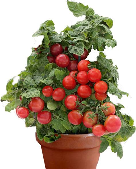 vaso per pomodori come coltivare i pomodori in vaso garden4us