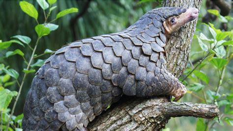 pangolin chinese pangolins zsl nepal conservation zoo endangered species asia london anteater eaten being