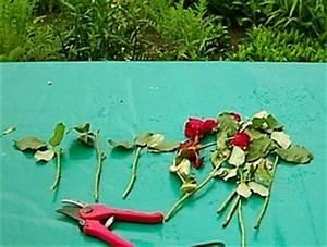 Rosen Selber Ziehen : rosen rosenstecklinge rosen selber vermehren ~ Lizthompson.info Haus und Dekorationen