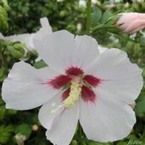 Riesen Hibiskus Kaufen : hibiskus st mmchen von gartenxxl auf kaufen ~ Watch28wear.com Haus und Dekorationen