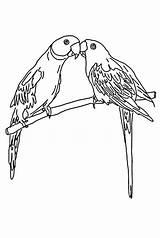 Parrot Coloring Mating Colornimbus Parrots Colour Sheets sketch template