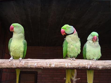 teach  ringneck parrot  talk pets