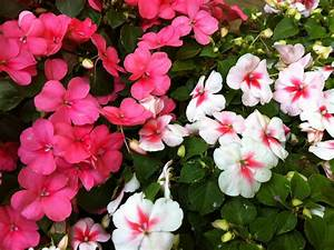 Impatiens are Dying -- Will they soon be Extinct? - A ...