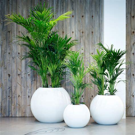 Große Pflanze Wohnzimmer by Galerie Baumhaus Gmbh