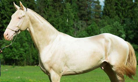 horse teke akhal horses breeds distinctive manes breed seven stunning most pony haflinger spirit haflingers