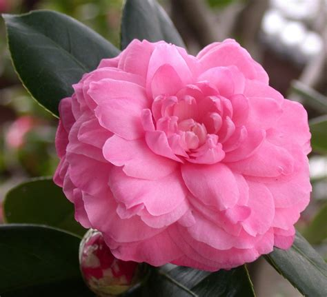 camellia flower care 100 pure organic camellia oil imported from japan sweet essentials