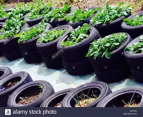 Potatoes Growing In Old Car Tyres Tubs Stock Photo