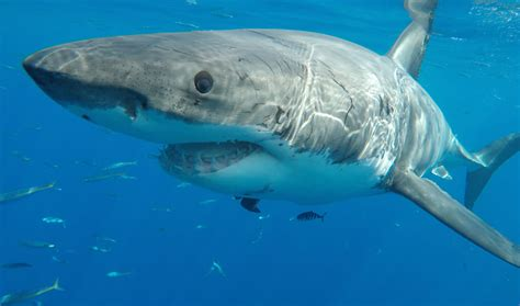 Liveaboard Boats For Rent San Diego by Scuba Diving Guadalupe Island Guadalupe Island Information