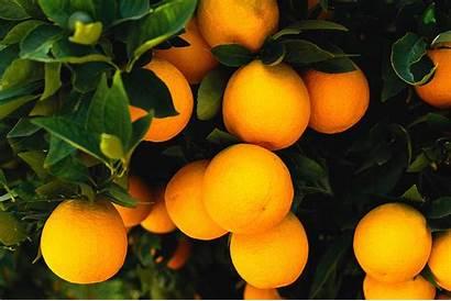 Fruit Orange Oranges Tree Wallpapers Trees Fresh