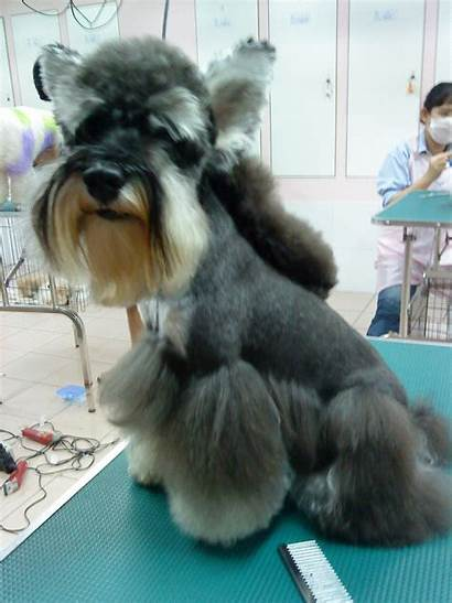 Grooming Schnauzer Cut Miniature Dog Horse Cuts