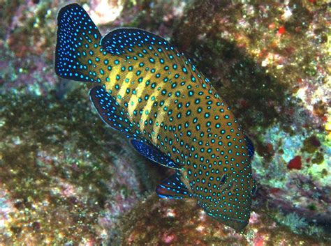 grouper peacock hawaii argus island cephalopholis location reefguide