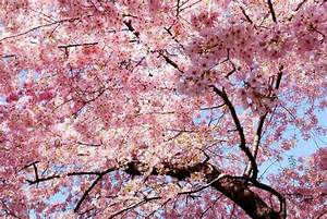 pink, Trees, Nature, Magnolia, Sakura Sakura Wallpapers HD ...