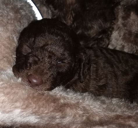 f1b labradoodle puppies for sale in washington summer
