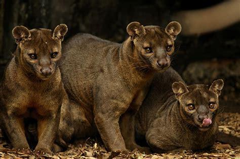 beautiful creatures fossa