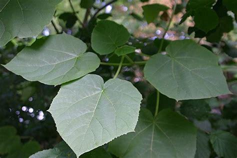 baum mit riesigen blaettern paulownia tomentosa