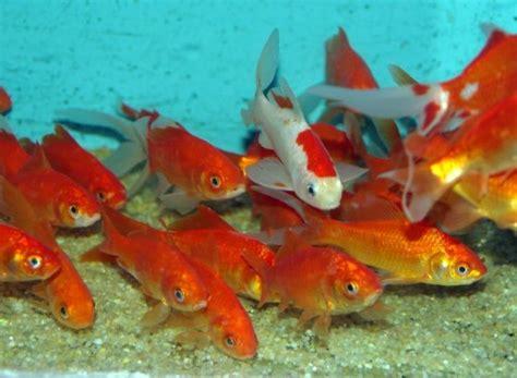 quels poissons choisir pour un bassin d ext 233 rieur