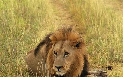 Lion Screensavers Background Wallpapers