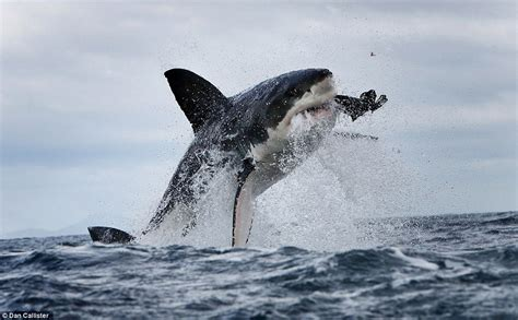 Cool Black Wallpaper Android Shark Jumping Wallpapers Photo Download Hd Shark Jumping S Photo Wallpaper For Desktop And