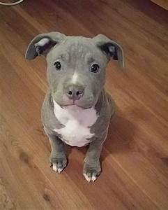 cute pit bulls dogs