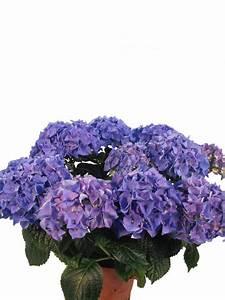 Blau Blühender Bodendecker : bl hende hortensie early blau pflanzenklick ~ Frokenaadalensverden.com Haus und Dekorationen