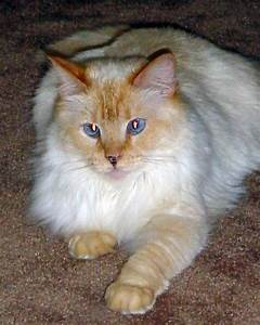 Flame Point Siamese - she looks almost like my Ronja | For ...
