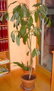 Avocado Baum Pflege : tropenland forum avocado bl te ~ Orissabook.com Haus und Dekorationen