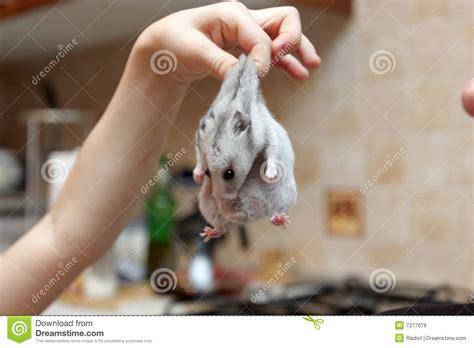 tame hamster royalty  stock  image