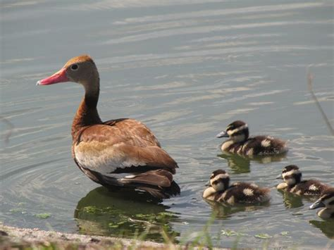 black bellied whistling duck sounds pictures to pin on