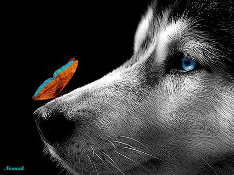 loup papillon chien husky Image, animated GIF