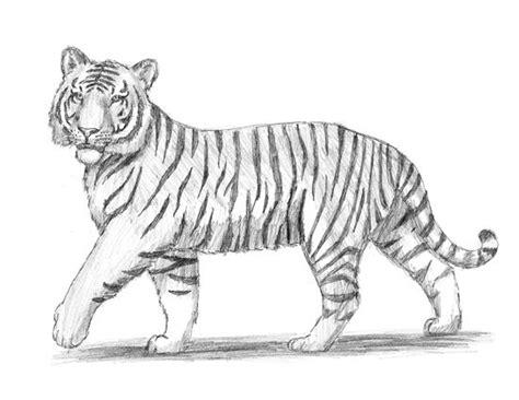 draw  tiger drawing   tiger drawing