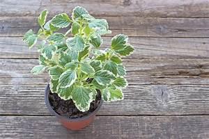 Weihrauch Pflanze Winterhart : weihrauchpflanze berwintern so kommt sie sicher durch ~ Lizthompson.info Haus und Dekorationen