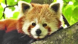 Very Cute Red Panda - One of The Worlds Cutest Animals ...
